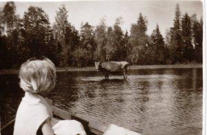 Yllätys suvun kesämökillä 1930-luvulla: lehmä järvessä