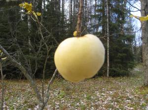 Syksyn viimeinen omena. Juuri raekuurosta selvinneenä.