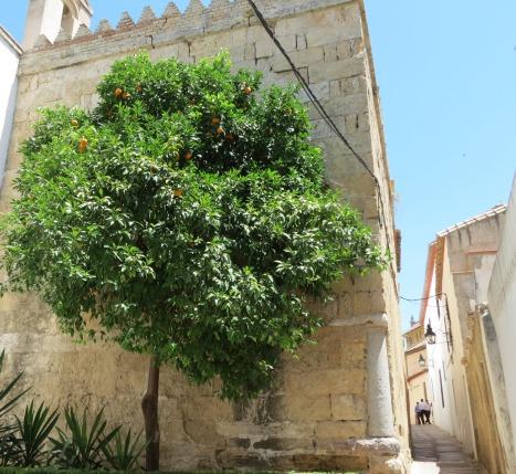 Tällaisesta puusta appelsiinityttö poimi hedelmänsä.
